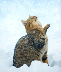 Cat with raised paw looking up on fallen snow. Cat with head up sitting on the snow outdoor in winter