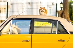 Cat with two-colored eyes on a yellow vintage car