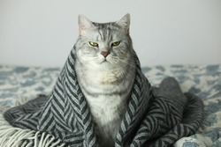 Cat wrapped in the rug or blanket, cat under the blanket with serious and arrogant funny face expression, copy space