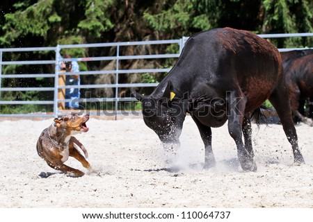 Catahoula Leopard Dog Herding
