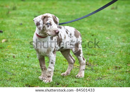Catahoula Leopard Dog - Little Puppy - stock photo