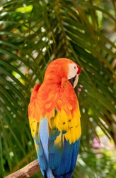 Catalina Macaw Ara ararauna x Ara macao is a hybrid of the scarlet macaw and the blue and yellow macaw.