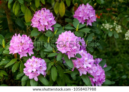 Catawba Rhododendron Cultivar (Rhododendron catawbiense)