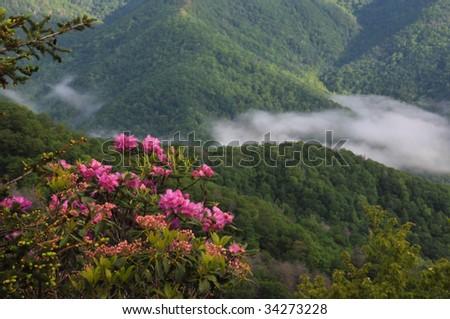 Catawba rhododendron on the Blue Ridge Parkway, North Carolina