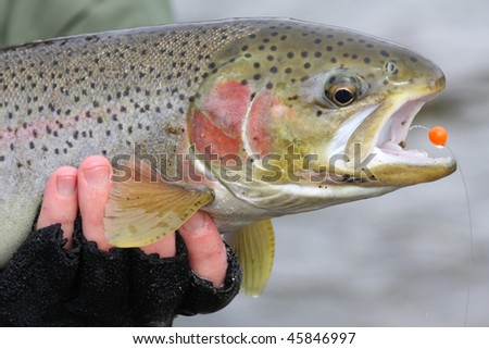 Catch and release steelhead trout