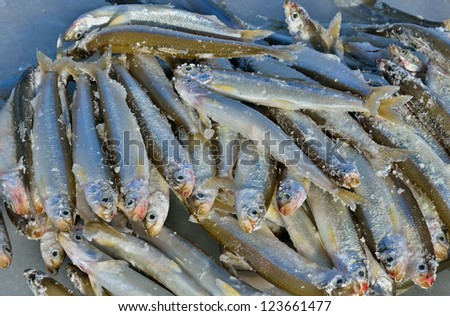 Catch on winter fishing. A close up of the fishes smelt on ice.