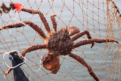 Catching crab on a network of prickly bait