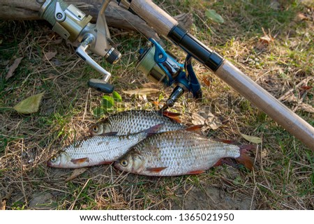 Catching freshwater fish and fishing rods with reels on green grass. Several roach fish on green grass. Catching fish - common roach.