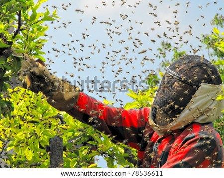 catching the bee swarm/ beekeeping