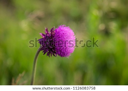 Catclaw Sensitive Briar wildflower pink prairie close up bloom bright spring summer plant botany