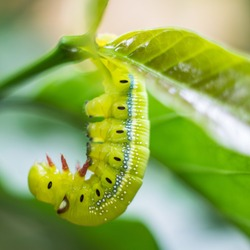 Caterpillar, Big green worm, Giant green worm on the green leaf background.