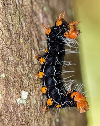 caterpillar black and orange with water drops on trunk extreme close up - caterpillar black and orange on trunk macro photo