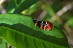 Caterpillar Chenille Jamaissatisfaite eating a leaf