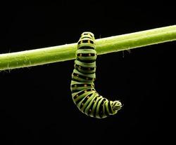 caterpillar isolated on black background