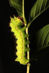Caterpillar of Indian moon moth or Indian luna moth (Actias selene) ,Thailand