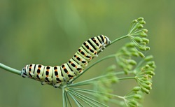 Caterpillar of swallowtail