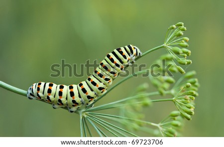 Caterpillar of swallowtail