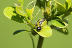 Caterpillar of the box tree moth (Cydalima perspectalis) on a buxus