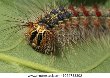 Caterpillar of the Gipsy moth on a close up horizontal picture. Larva of the common European pest, occurring mostly in oak forests.
