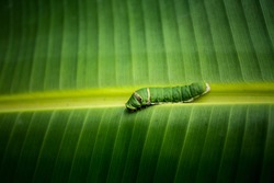 Caterpillar of the Lime Butterfly (Papilio demoleus malayanus) on the green banana leaf.