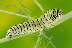 Caterpillar of the Maltese Swallowtail Butterfly eating fennel leaves, 10 days after hatching. It is now about 40 mm long and nearing its final days as a caterpillar.