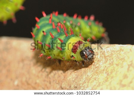 Caterpillar of the Suraka Silk Moth on a close up horizontal picture. A rare butterfly species endemic to Madagascar. Large colorful exotic moth larva.