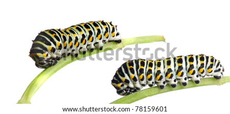 Caterpillar of the Swallowtail (Papilio machaon) 2nd instar.