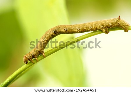 caterpillar on a branch on a green background macro #192454451