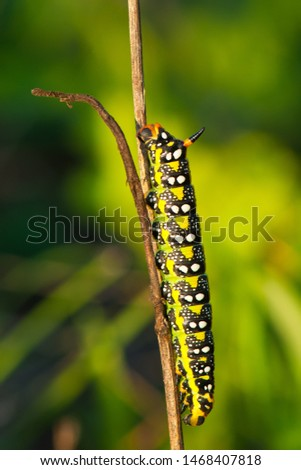 Caterpillar on a dry blade of grass at sunset.Hyles euphorbiae, the spurge hawk-moth, is a European moth of the family Sphingidae.