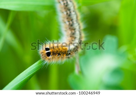 Caterpillar on green leaf. Macro close-up
