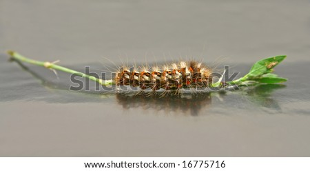 Caterpillar on his plant, isolated on grey paper.
