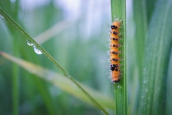 Caterpillar on leaves.Hairy caterpillar and dew on green leaves of rice plant.Nature background concept.