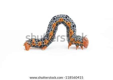 Caterpillar on white background.