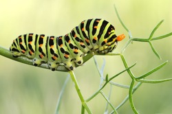 Caterpillar Papilio Machaon