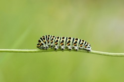 Caterpillar Swallowtail with green background