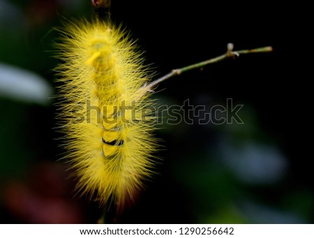 Caterpillar, The worm-shaped worm with yellow hairs on the branch of roses, animal insects