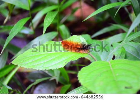 Caterpillar with orange and black colour on the leaf #644682556