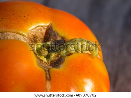Caterpillar worm peeking out of a hole eaten in a tomato