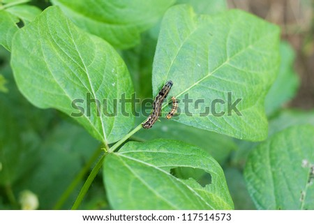 Caterpillars pest