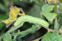 CaterpillarThe bright-line brown-eye (Lacanobia oleracea). It is a pest of many types of crops, including tomatoes. An insect on a damaged tomato.