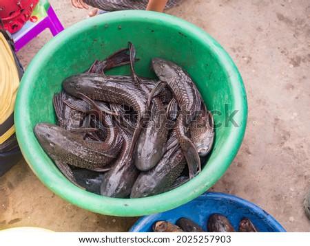 Catfish (Carachama, Panaque schaeferi, Pseudorinelepis genibarbis) from the Amazon River in a large  bowl at the Belen bazaar. Also called cuchas or prehistoric catfish.  Iquitos, Peru, South America. Zdjęcia stock ©