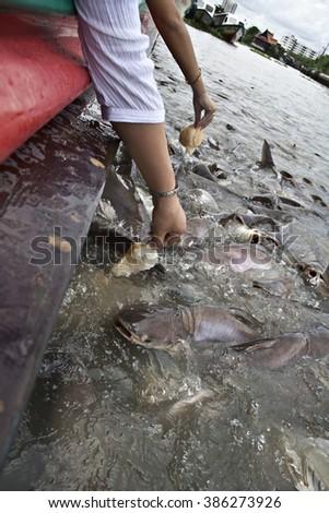 catfish feeding frenzy chao phraya river canal bangkok thailand Stock fotó ©