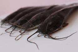 Catfish harvested from fish farming in buckets Budikdamber). Fresh and healthy catfish.
