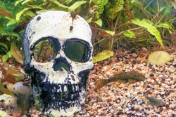 Catfish in an aquarium with a skull, close-up