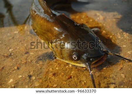catfish in shallow water.