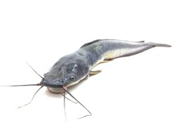 Catfish on a white background
