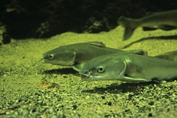 Catfish on seafloor