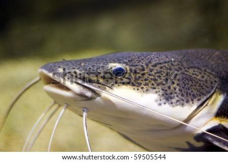 catfish - Phractocephalus hemioliopterus