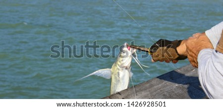Catfish, scientific name Siluriformes, being released from hook by fisherman with needle nose pliers. Catfish have barbels, resembling a cat's whiskers, housing taste buds and used to search for food. #1426928501