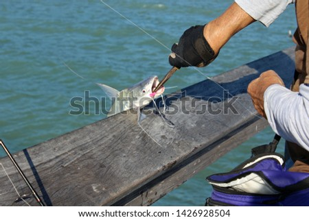 Catfish, scientific name Siluriformes, being released from hook by fisherman with needle nose pliers. Catfish have barbels, resembling a cat's whiskers, housing taste buds and used to search for food. #1426928504